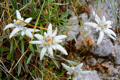 Edelweiss, floare de colt
