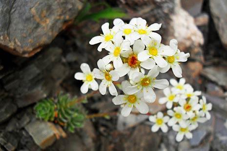 Florile din stanca